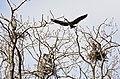 Ardea herodias -Illinois, USA -nests-8 (5).jpg