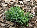 Arenaria montana non flowering.jpg