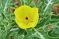 Argemone mexicana - Mexican Prickly Poppy - at Beechanahalli 2014 (14).jpg