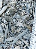 Ariocarpus scapharostrus (5727600688).jpg
