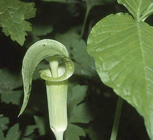 Aroideae - Arisaema triphyllum