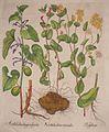 Aristolochia longa vulgaris-Aristolochia rotunda-Perfoliata.jpg