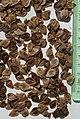 Aristolochia ringens seeds I. by Omar Hoftun.jpg
