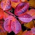 Aronia leaves on a rainy autumn day in Tuntorp 10.jpg