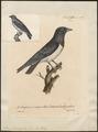 Artamus leucorhynchos - 1825-1834 - Print - Iconographia Zoologica - Special Collections University of Amsterdam - UBA01 IZ16400131.tif