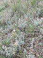 Artemisia austriaca sl5.jpg