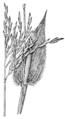 Arthraxon hispidus HC-1935.png