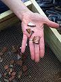 Artifacts, Herring Run Park Archaeology (17538684646).jpg