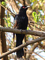 Asian Koel (Male).JPG