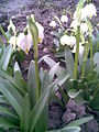 Asparagales - Leucojum vernum 2 - 2011.03.29.jpg