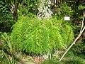 Asparagus densiflorus 2.JPG