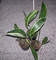 Aspidistra-elatior-variegata.jpg