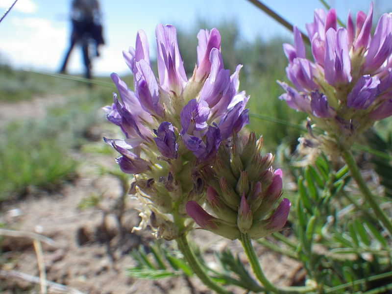 File:Astragalus adsurgens (7462039404).jpg