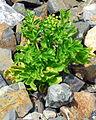 Astydamia latifolia La Gomera.jpg