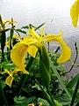 Atlas roslin pl Kosaciec żółty 8910 7204.jpg