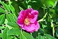 Atlas roslin pl Róża pomarszczona 3089 7793.jpg