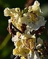Atlas roslin pl Surmia bignoniowa 10322 6636.jpg