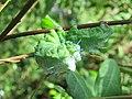 Attacus taprobanis - Atlas moth caterpillar on the leaves of Zanthoxylum rhetsa at Peravoor (1).jpg