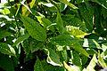 Aucuba japonica in Jardin des plantes de Montpellier 02.jpg