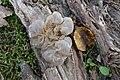 Auricularia mesenterica Jymm.jpg