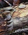 Austernpilz Pleurotus ostreatus.jpg