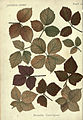 Autumnal leaves (Plate 12) (6796239867).jpg