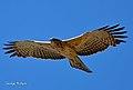 Ayres' Hawk Eagle02.jpg