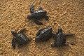 Bébés tortues libérés.jpg