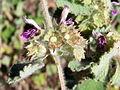 B.hirsuta-frutos-1.JPG