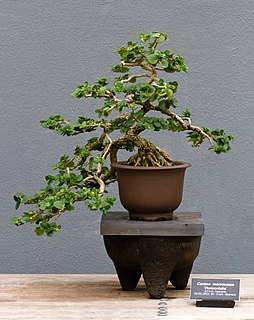 bonsai which are cultivated for the indoor environment