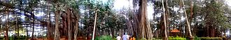 Dodda Alada Mara - Panorama of Big banyan tree