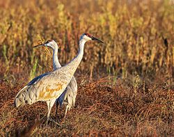 BLM Winter Bucket List -9- Cosumnes River Preserve, California, for the Trumpet and Dance of the Sandhill Crane (15965538838).jpg