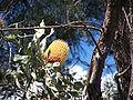 B menziesii yellow gnangarra.jpg