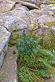 Babia Góra – Tojad morawski (Aconitum moravicum).jpg