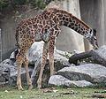 BabyMasaiGiraffe1.jpg