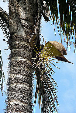 Bactris setulosa, known as Jingapa (11124373373).jpg