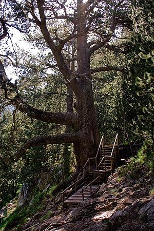 Baikushev's pine - The Baikushev's pine