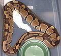 Ball Python After Laying.jpg