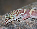 Banded Gecko 1 810 (1 of 1).jpg