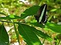 Banded Swallowtail (Papilio demolion) (8067450196).jpg