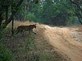 Bandhawgarh Tiger 1.jpg