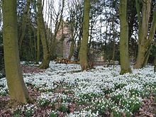 List of early spring flowers wikipedia a snowdrop carpet at bank hall bretheton in england uk february 2009 mightylinksfo