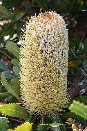 Banksia subg. Banksia - Banksia serrata (Saw Banksia), the type species of Banksia.