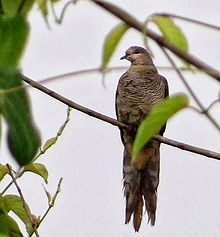 Barred Cuckoo-dove.jpg