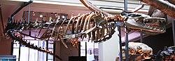 Basilosaurus cetoides (1).jpg