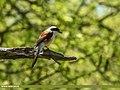 Bay-backed Shrike (Lanius vittatus) (44745529660).jpg