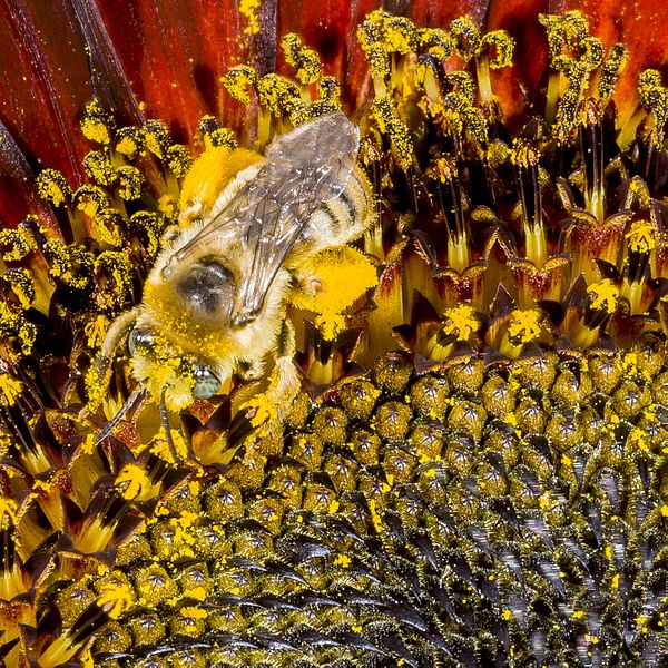 File:Bee (9335303987).jpg