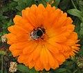 Bee feeding on Calendula - geograph.org.uk - 541727.jpg