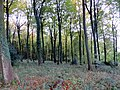 Beech woods, late afternoon - Nov 2012 - panoramio.jpg
