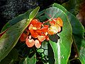 Begonia Orange Sherbet 1.jpg